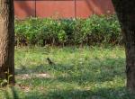(原创)宁波的鸟 - 黑尾蜡嘴雀雄鸟