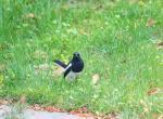 (原创)宁波的鸟 - 鹊鸲雌鸟