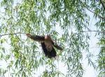 (原创)宁波的鸟 - 珠颈斑鸠