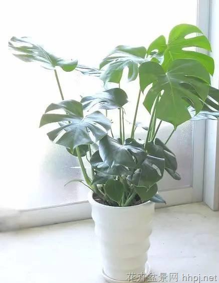 除甲醛能力最强的5种的室内植物