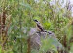 (原创)宁波的鸟 - 棕背伯劳