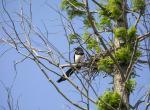 (原创)宁波的鸟 - 喜鹊
